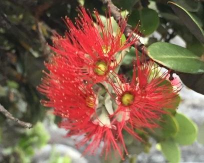ハワイ ペレの花.jpg